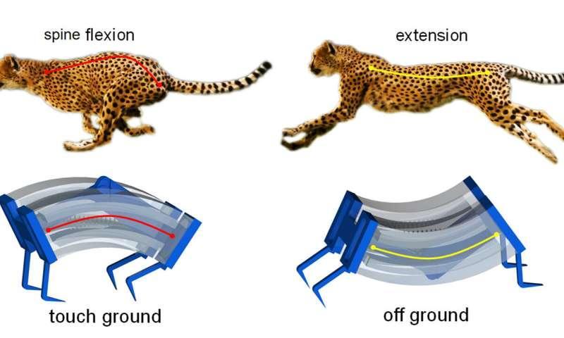 受猎豹的启发研究人员构建了迄今为止最快的软机器人